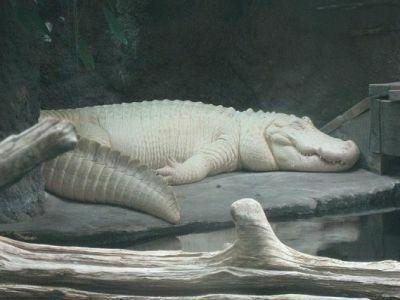 Túi hermes da cá sấu bạch tạng